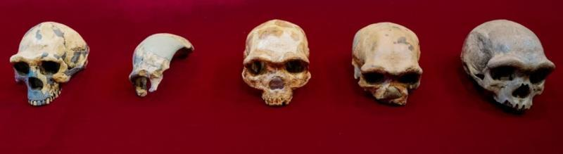 The largest human skull that could change the current view of evolution
