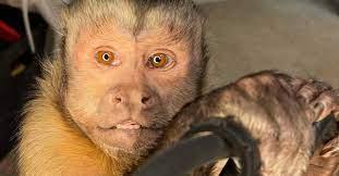 The terrible death of a TikTok monkey with 17.6 million followers.