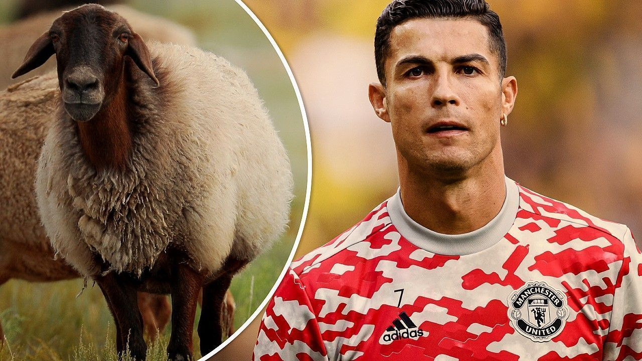 The flock of sheep moved Cristiano Ronaldo home in Manchester