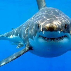 Sharks attack surfers who misuse seals